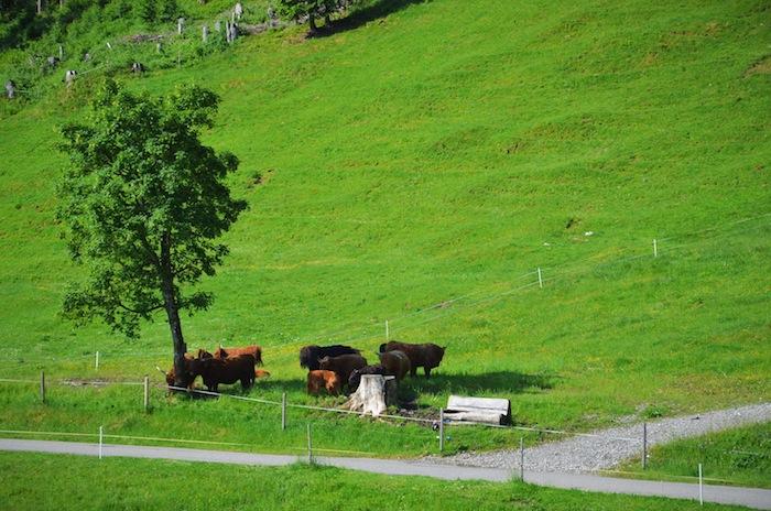 Auf einer sehr grünen Wiese im Kleinwalsertal stehen zottelige Rinder an einem Baum