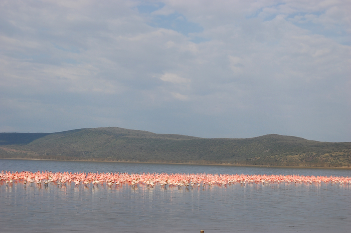 Flamingos am Lake Nakuru in Kenia