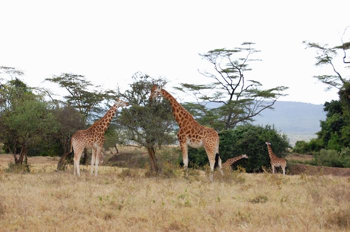 Giraffen im Nationalpark nahe des Lake Naivasha in Kenia