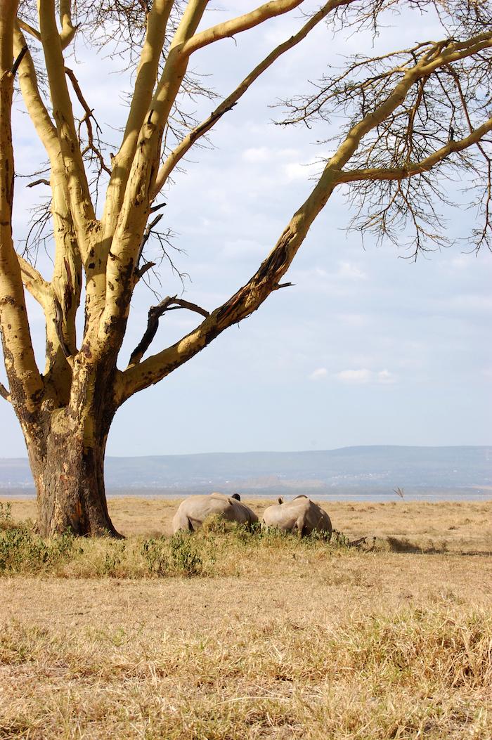 Weiße Nashörner im Nakuru Nationalpark