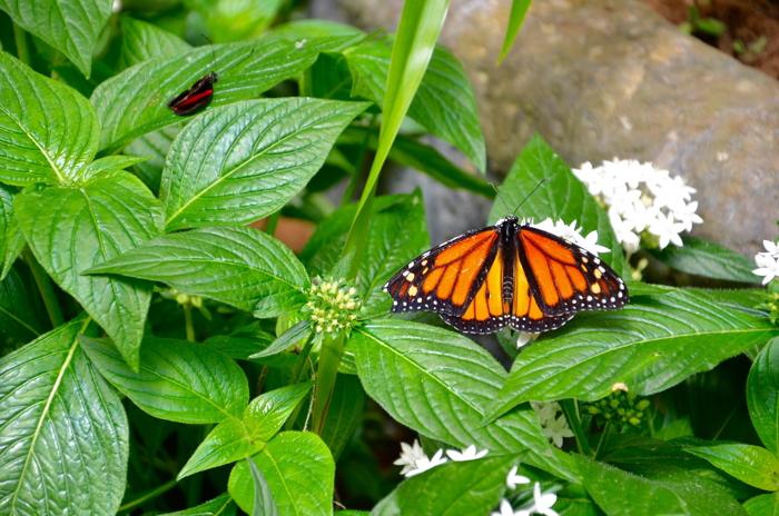 Abenteuer Costa Rica und Pura Vida mit Schmetterlingen