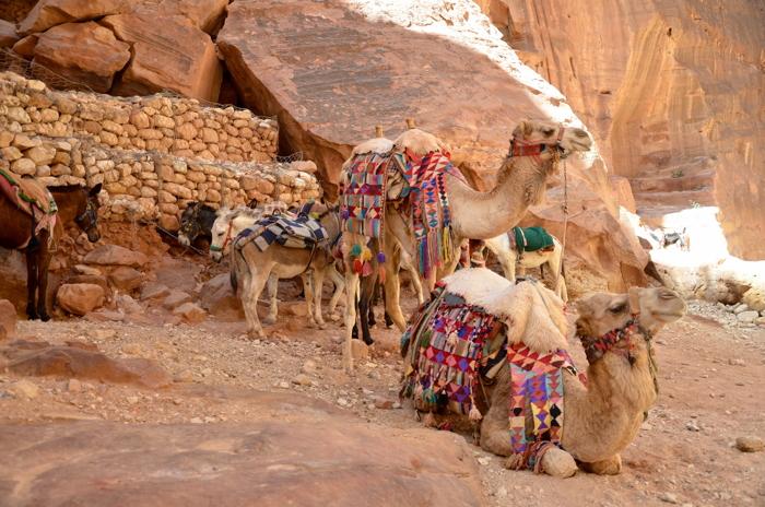 Kamele der Beduinen in Wadi Rum in Jordanien