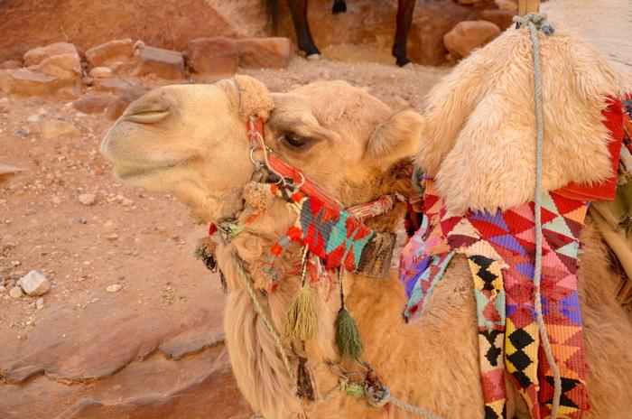 Kamel der Beduinen in Wadi Rum in Jordanien