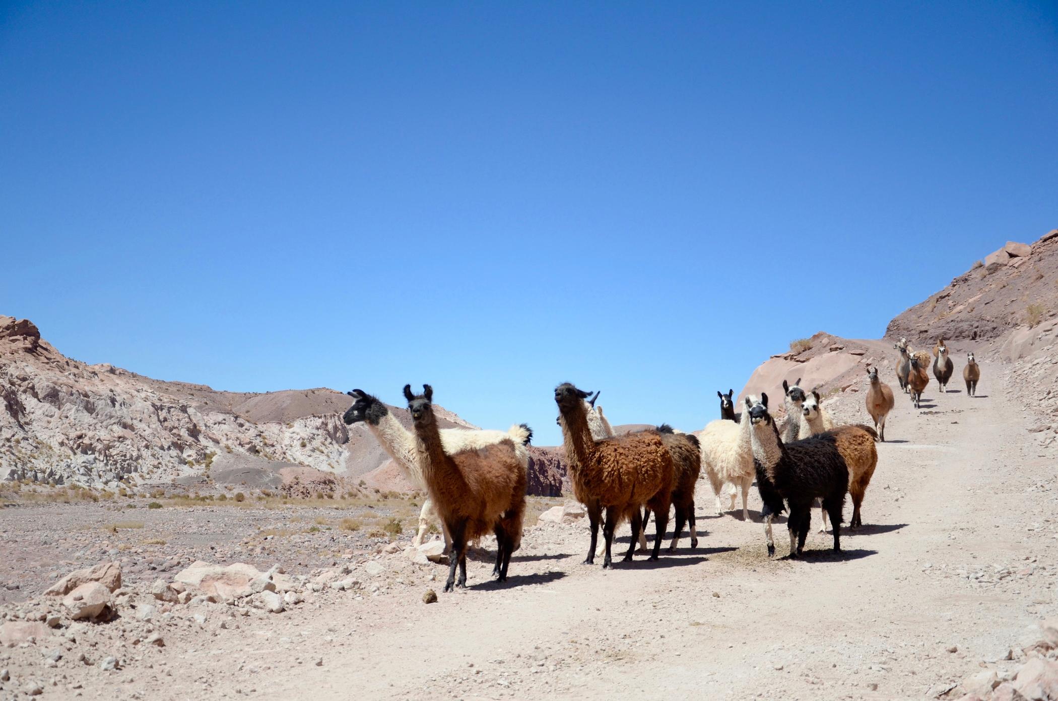 Sehenswürdigkeiten Chile wie Lamas in der Atacama