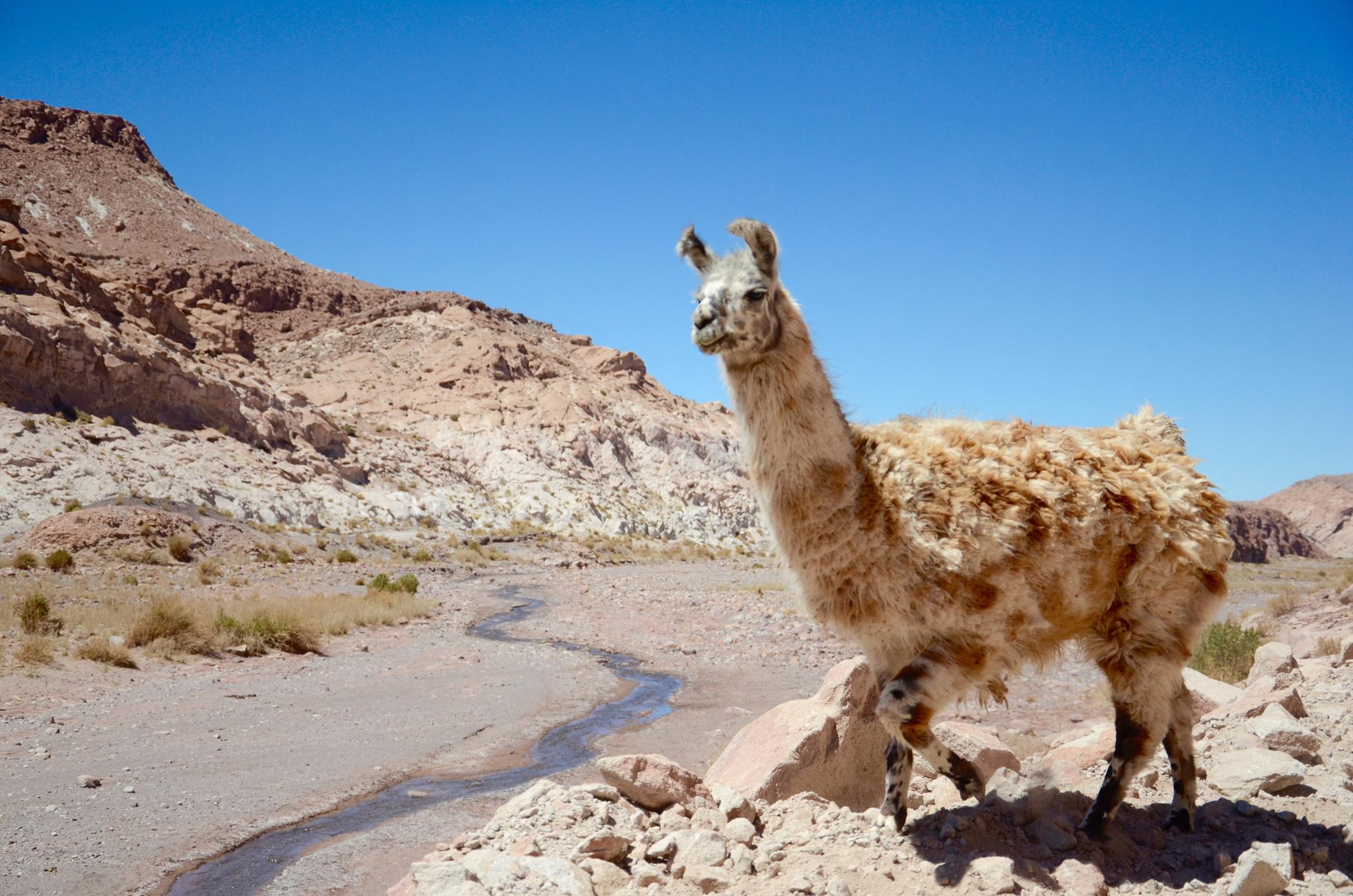 Sehenswürdigkeiten im Chile wie Lamas