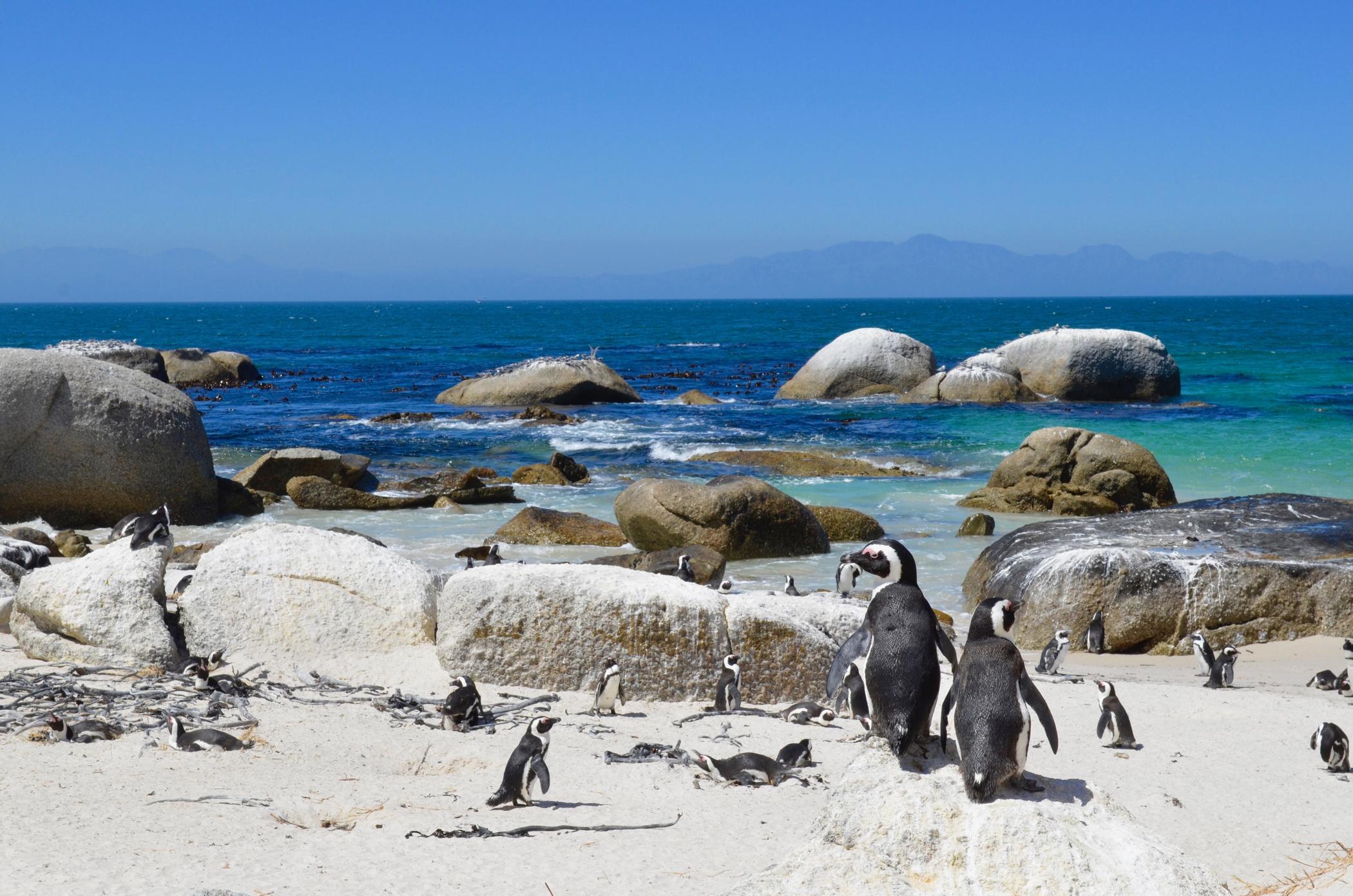 Auf einem Südafrika Roadtrip besucht man auch die Pinguine von Simons Town