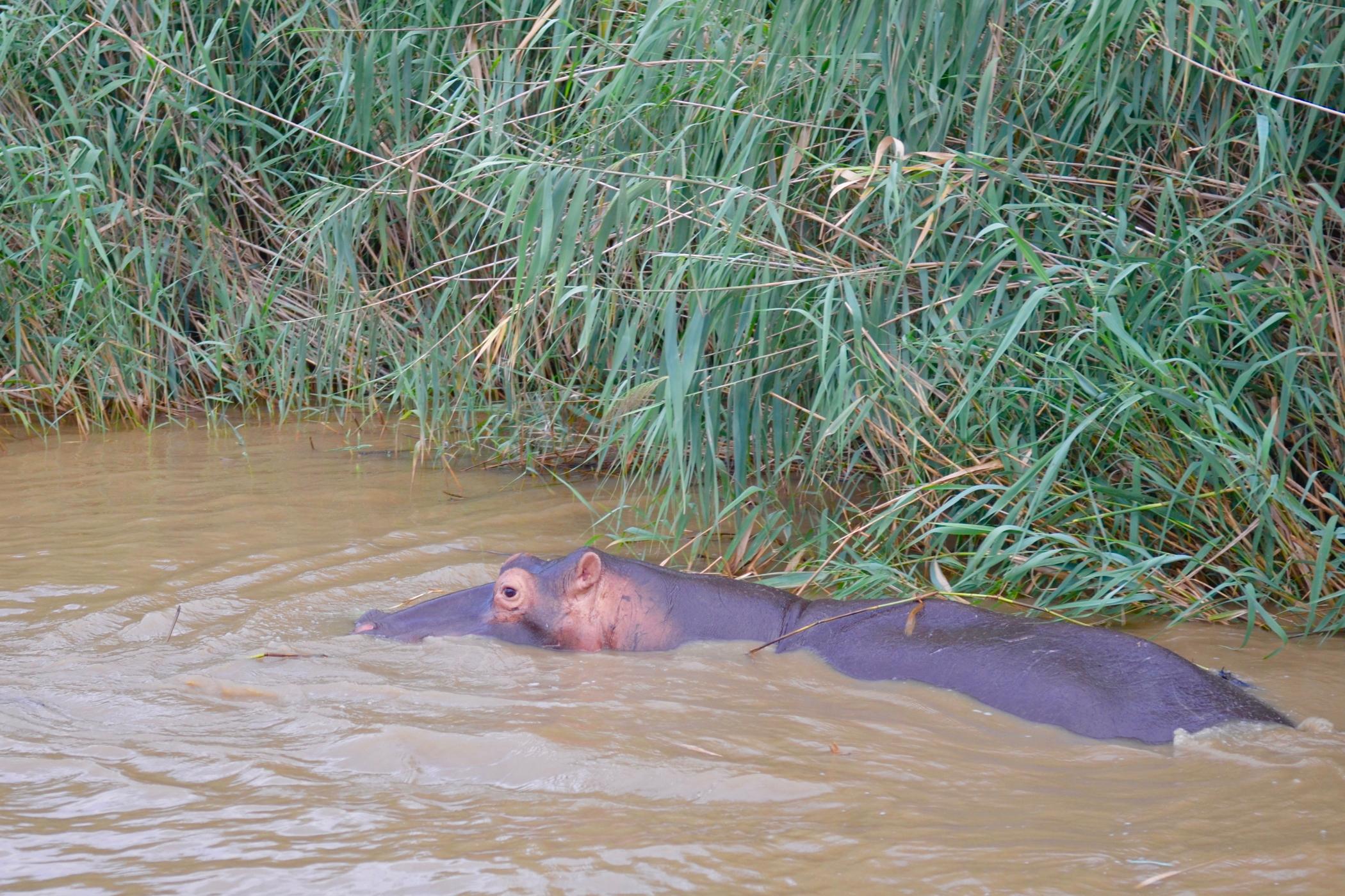 Flusspferde gibt es auf einem Südafrika Roadtrip in St. Lucia zu sehen